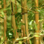 Interessante weetjes over bamboe