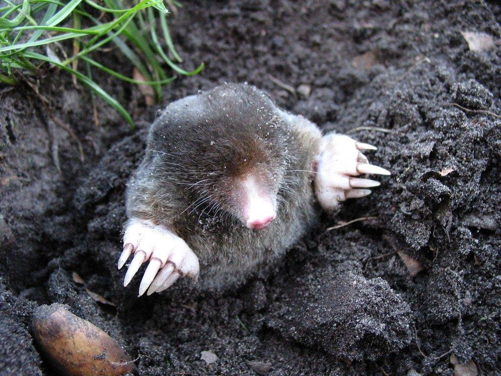 weetjes over de mol